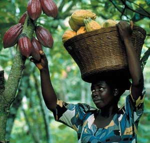 Reviving the once lost cocoa farming in Ghana